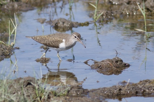 Common sandpiper, Breebaart, 23 July 2012