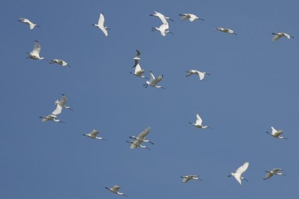 Flying spoonbills, Breebaart, 23 July 2012