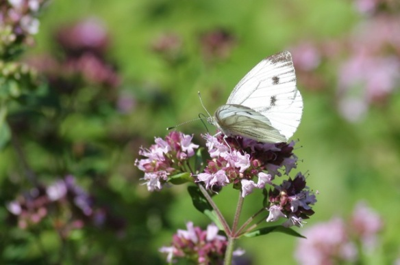 Green-veined white butterfly, Losdorp, 23 July 2012