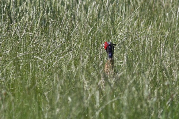Pheasant, Losdorp, 24 July 2012