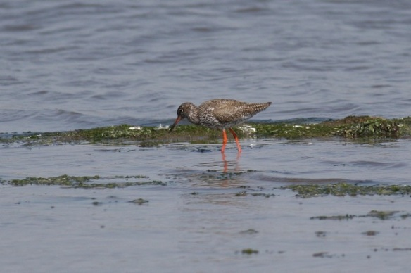 Redshank, Breebaart, 23 July 2012