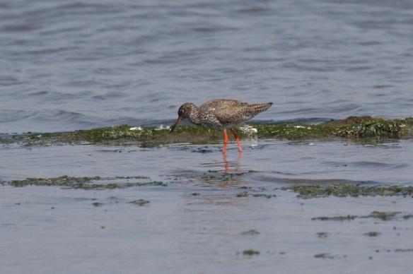 Redshank, Breebaart, 23 July 2012