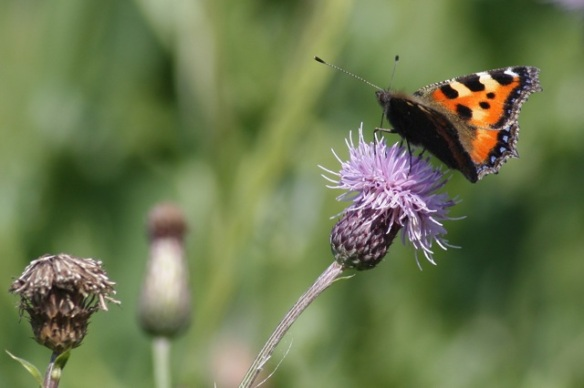 Small tortoiseshell, Losdorp, 23 July 2012
