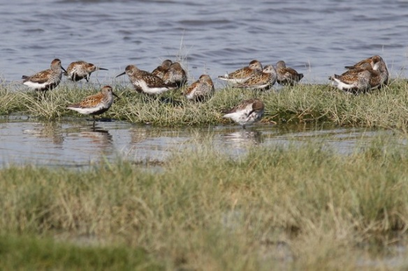 Dunlins, Breebaart, 23 July 2012