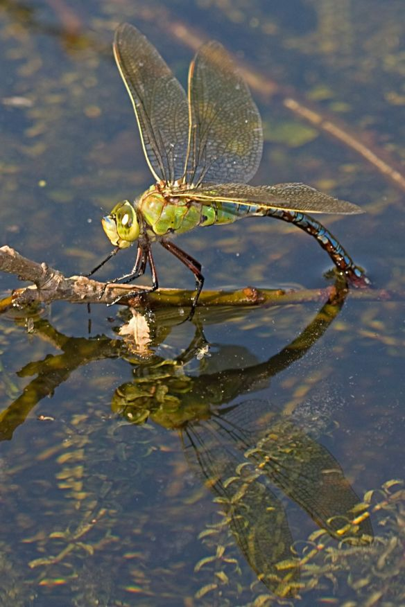 Emperor dragonfly female, depositing eggs in Zuid-Kennemerland, August 2012