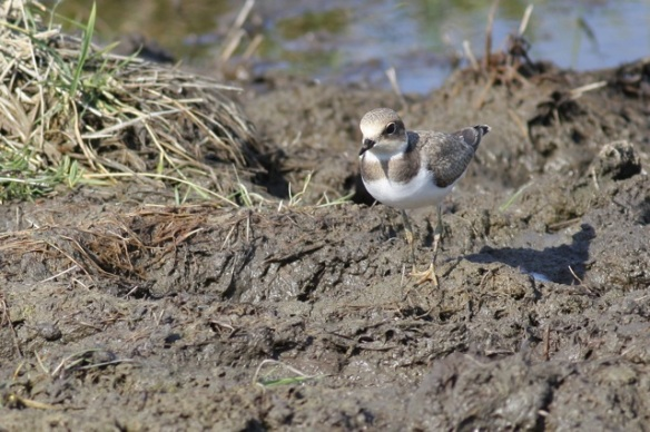 Juvenile little ringed plover, Breebaart, 23 July 2012