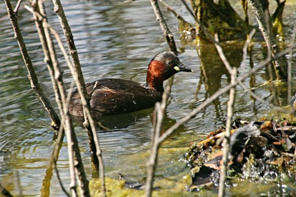 Little grebe, Zuid-Kennemerland, August 2012
