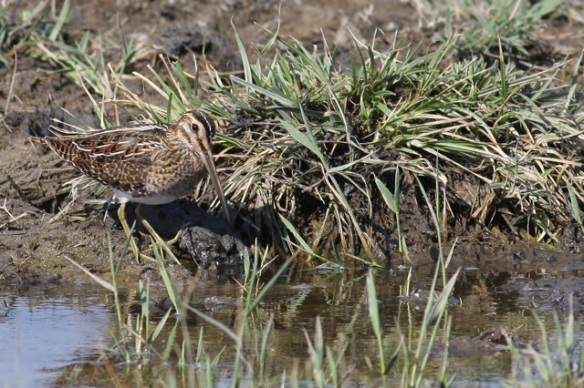 Snipe, Breebaart, 23 July 2012