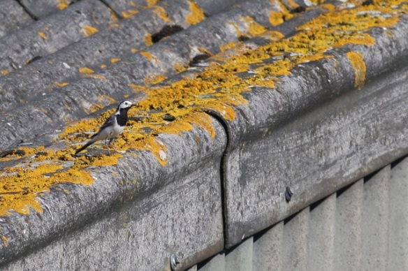 White wagtail, Westeremden, 24 July 2012