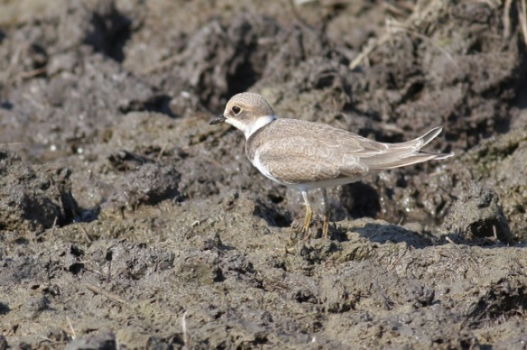Young little ringed plover, Breebaart, 23 July 2012