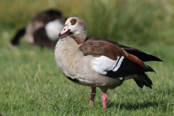 Adult Egyptian goose, 8 September 2012