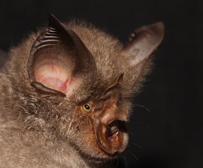 Rhinolophus smithersi, credit Paddy Ruback