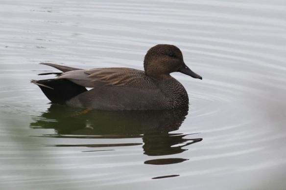 Gadwall duck male, Oostvaardersplassen, 23 September 2012