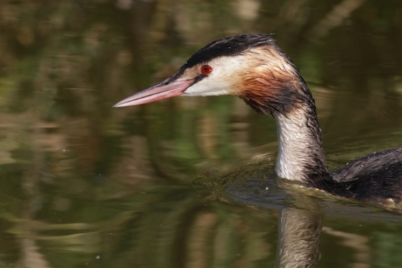 Great crested grebe, 8 September 2012