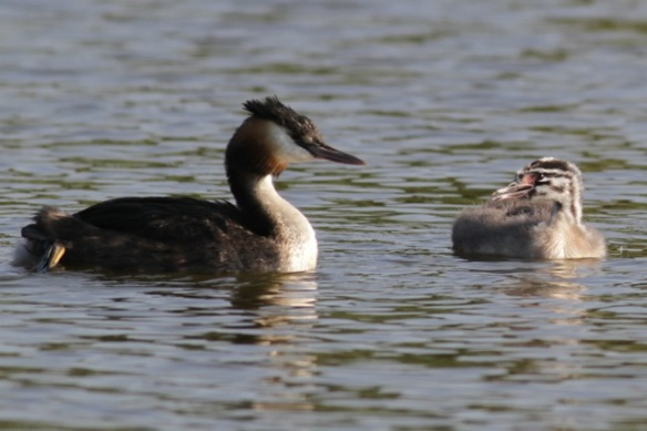 Great crested grebe with chick, 8 September 2012