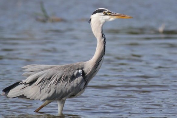Grey heron, 8 September 2012