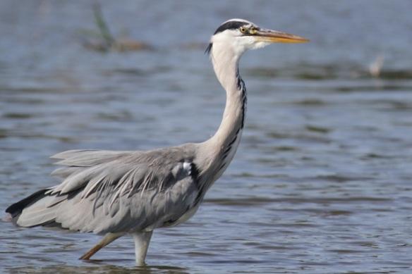 Grey heron, 8 September 2012