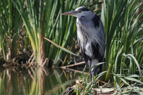 Grey heron in a reed bed, 8 September 2012