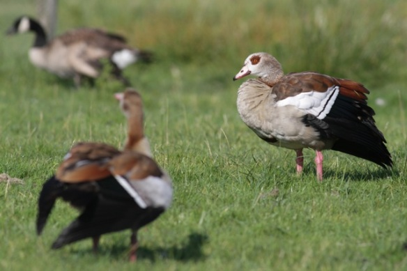 Juvenile and adult Egyptian goose, Canada goose, 8 September 2012