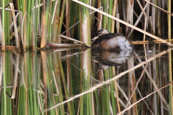 Juvenile little grebe, Oostvaardersplassen, 23 September 2012