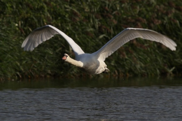 Mute swan flying, 8 September 2012