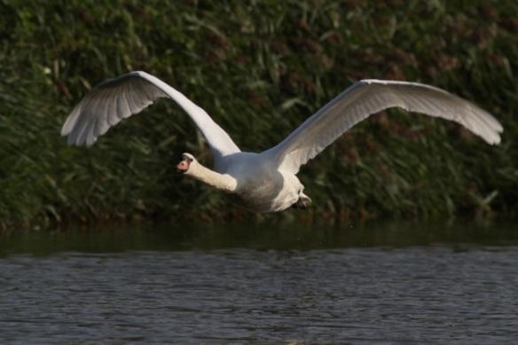 Mute swan flying, 8 September 2012