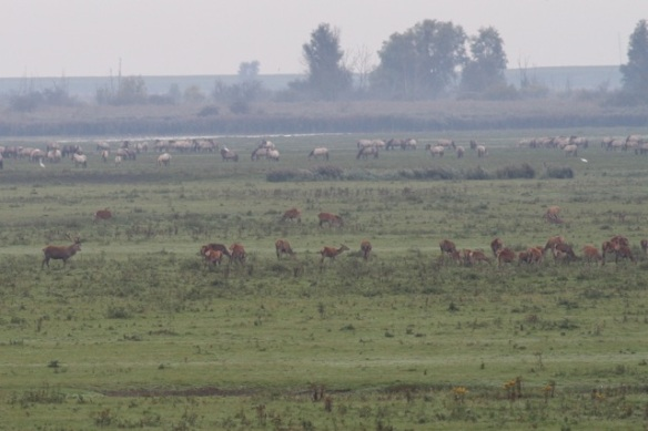 Red deer in Oostvaardersplassen, 23 September 2012, in the background konik horses and great egrets