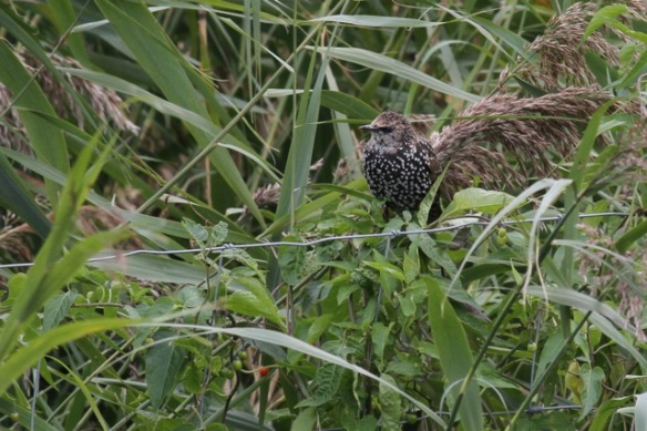 Starling, Oostvaardersplassen, 23 September 2012