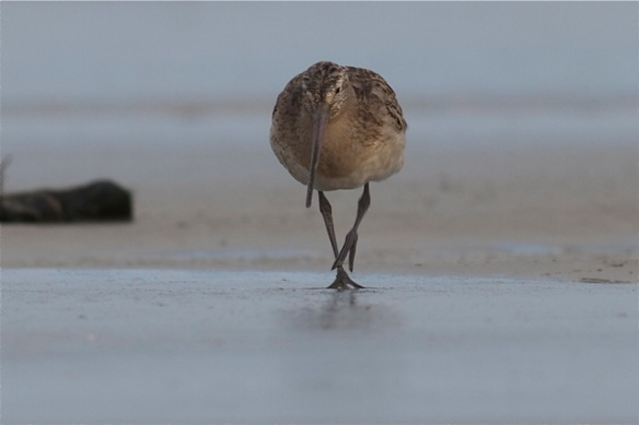 Bar-tailed godwit, Rottum, 29 September 2012
