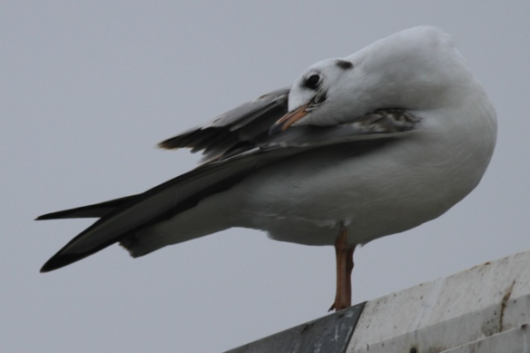 Black-headed gull, 24 October 2012
