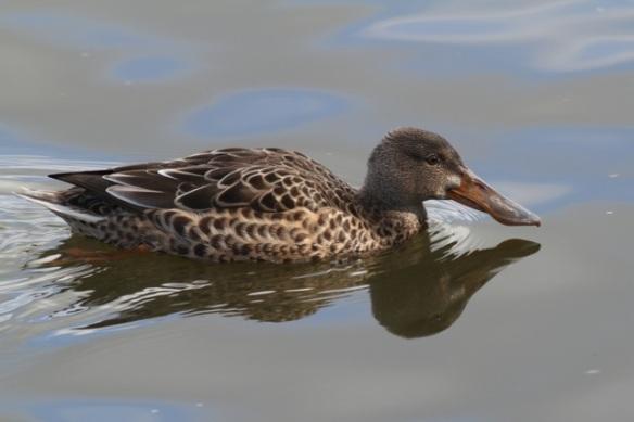 Female shoveler duck, 28 September