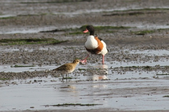 Golden plover and shelduck, 28 September 2012