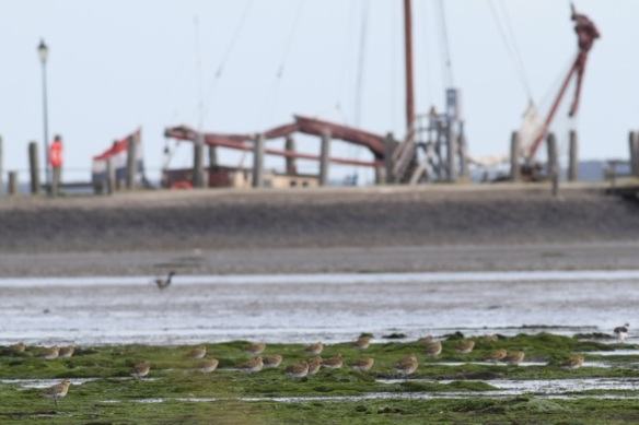 Golden plovers and ship, 28 September 2012