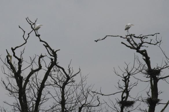 Great egrets, Ackerdijkse plassen, 20 October 2012