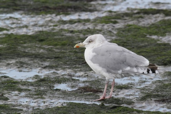 Herring gull, 28 September 2012