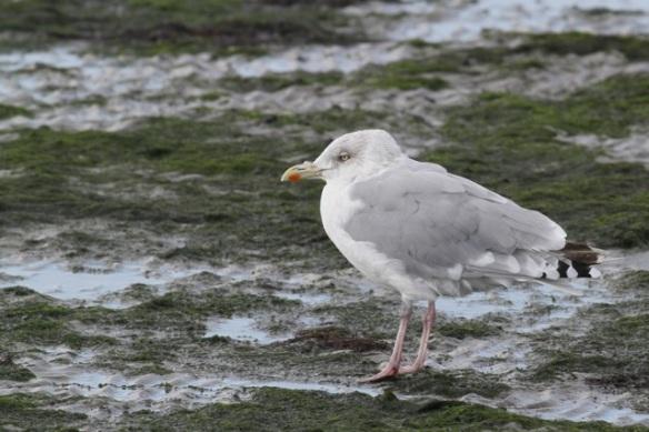 Herring gull, 28 September 2012
