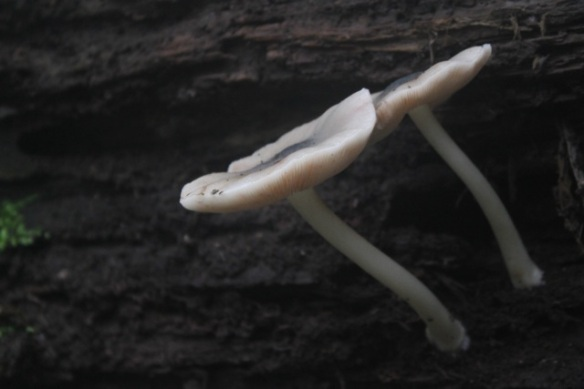 Pluteus salicinus, 21 October 2012