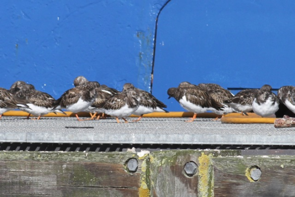 Lauwersoog turnstones, 30 September 2012