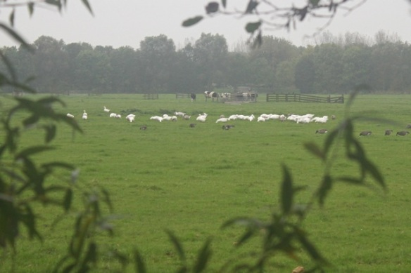 Meadow with domestic and Canada geese, 21 October 2012