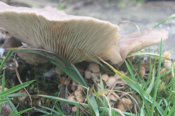 Oyster mushroom and Coprinellus disseminatus, 21 October 2012