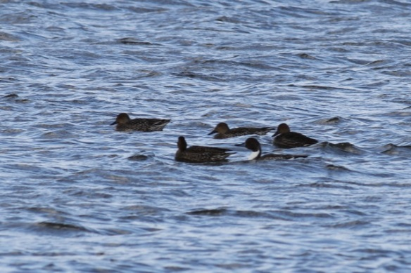 Pintail ducks, 28 September 2012