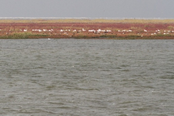 Schiermonnikoog, glasswort, gulls, shelducks, 28 September 2012