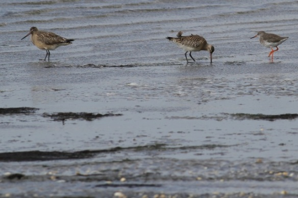 Schiermonnikoog, bar-tailed godwits and redshank, 28 September 2012