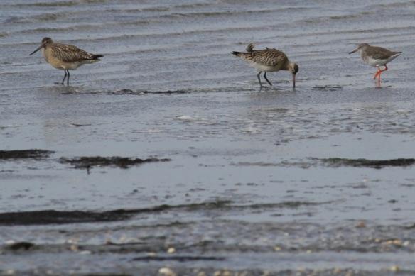 Schiermonnikoog, bar-tailed godwits and redshank, 28 September 2012