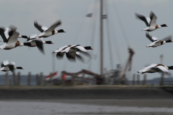 Shelducks flying, 28 September 2012