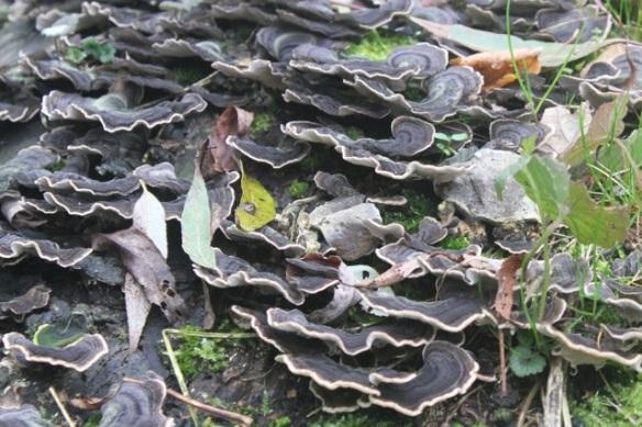 Turkey tail fungi, Ackerdijkse plassen, 20 October 2012