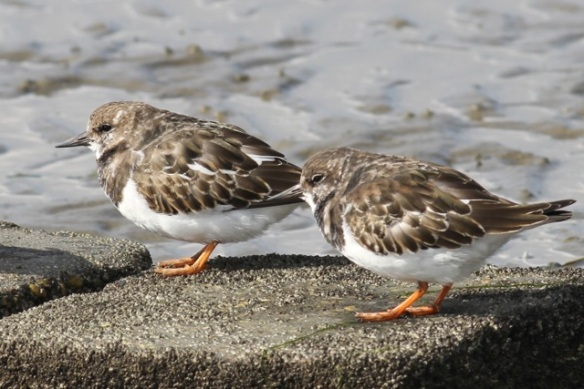 Turnstones, 28 September 2012
