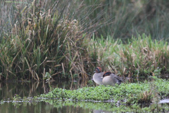 Two male teal, 24 October 2012