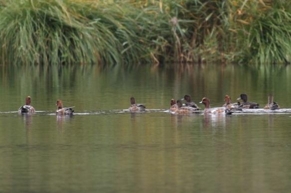Wigeons and tufted ducks, Ackerdijkse plassen, 20 October 2012