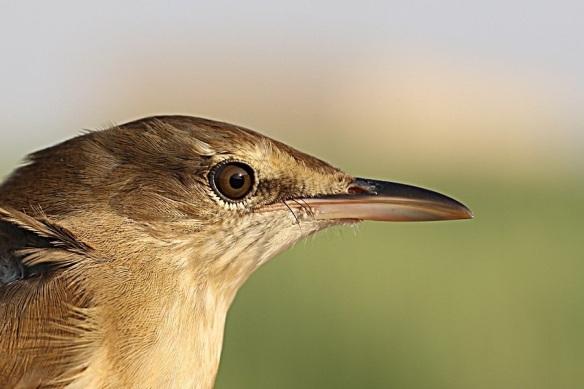 Clamorous reed warbler, photo by Jem Babbington